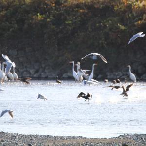 今日見た酒匂川のカワウやユリカモメなどの群舞…!!
