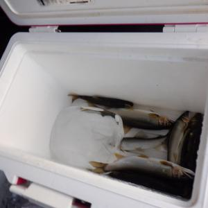 太閤橋上流部、地球博物館裏に魚影が見えなくなった…??