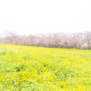【赤城南面千本桜/群馬県前橋市】菜の花と桜が彩る静かな春