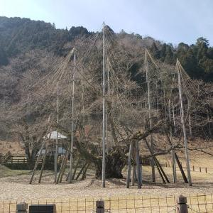 【岐阜県】根尾谷 淡墨桜を見に行ってきたよ~!しかし!!