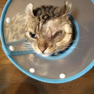 左目を摘出した猫 そして更に別の症状が・・・
