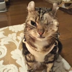 左目を摘出した猫 抜糸しました!ワンピースのあのキャラみたい