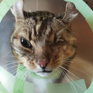 左目を摘出した猫 コンタクトレンズの寿命