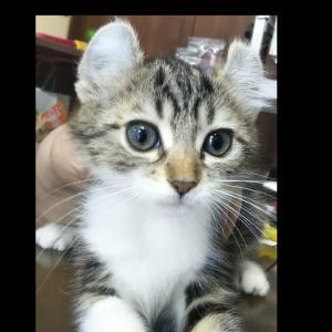 猫ブログ_ブリーダーさんの猫舎でご対面 #アメリカンカール