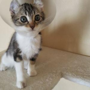 猫ブログ_いきなり猫カビ&風邪を患った #アメリカンカール