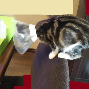 猫ブログ_椅子乗り曲芸 #アメリカンカール