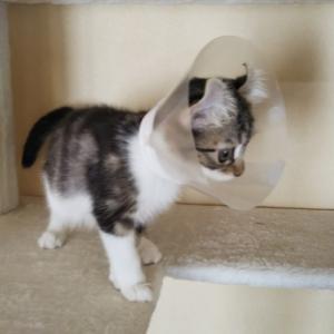 猫ブログ_苦渋の決断 そしてお別れ FIP発症猫 #アメリカンカール