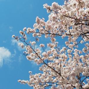 いつか眺めた近所の桜