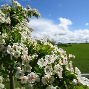 白い野花を花束にして