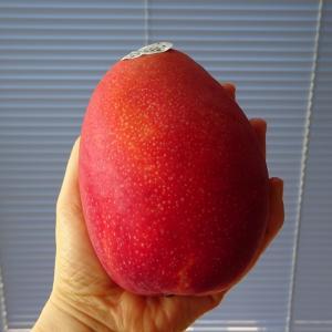 台湾マンゴーが美味しい季節になりました♪