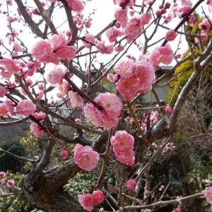 季節を味わう『花』:紅梅咲いたよ(^^♪