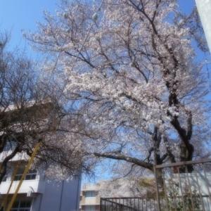 水戸も桜が満開!
