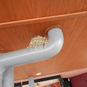 ツバメの巣発見