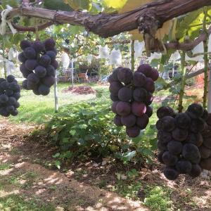 【新規就農】サヨナラ、ぶどうのありがたみ:研修初日から収穫しまくり食べまくり