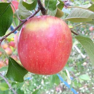 """【賢い消費者とは】""""日本人は判断する意識が低い"""":真っ赤なりんごから考えてみました"""