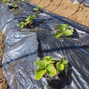【自給自足への第一歩】畑借りていちご植えました:いつ収穫できるか知らないけど、めちゃくちゃ楽しみ!
