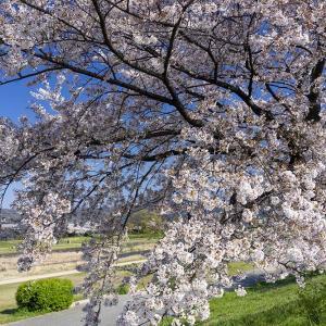 加茂街道の桜