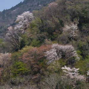 春を追いかけて - 一本桜とノウルシ