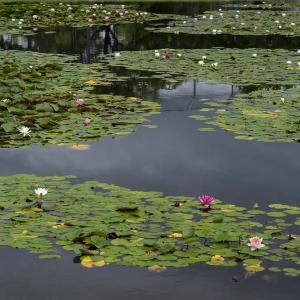 千蓮美那の池 - 睡蓮満開でした