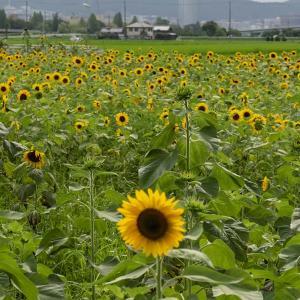 7/28 向日葵畑はしごしました。