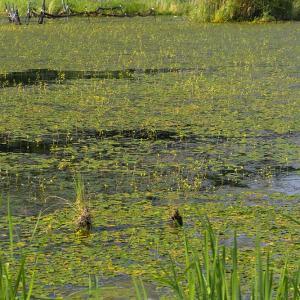 黄色い小さな花が一面に - 深泥池