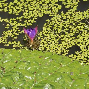 一昨年の今頃 - オニバスの花とオミナエシ