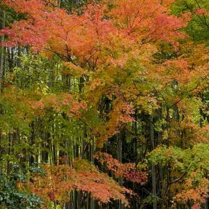 亀岡-鍬山神社と神蔵寺の紅葉-11月11日