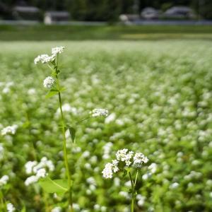 犬甘野の蕎麦畑と穴太寺の彼岸花