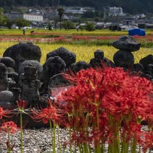 亀岡・穴太寺の彼岸花 - 旬を逃しました