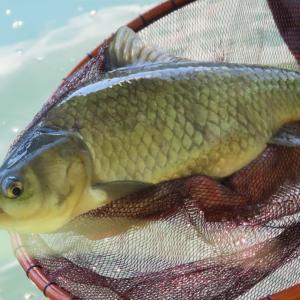 【精進湖へら鮒釣り】令和3年8月28日の釣果