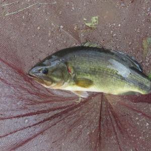 【河口湖へら鮒釣り】令和3年9月18日の釣果