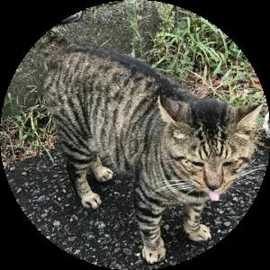 舌を出す キジトラ猫