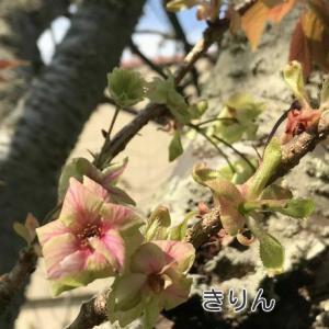 【珍 桜】淡緑色の珍しい桜 御衣黄(ギョイコウ)…静岡市