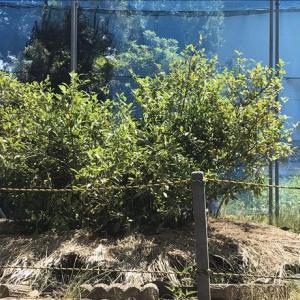 日本茶の『やぶきた原樹』は静岡市駿河区谷田(やだ)にあり!