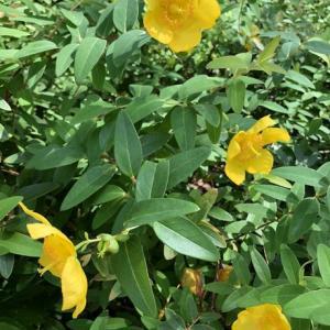 かわいい 黄色の花