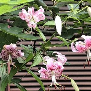 カノコユリ 名前の通りかわいい花