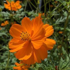【花】キバナコスモス