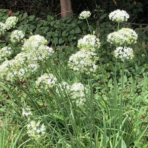 「にら」の花は真っ白で可愛い!