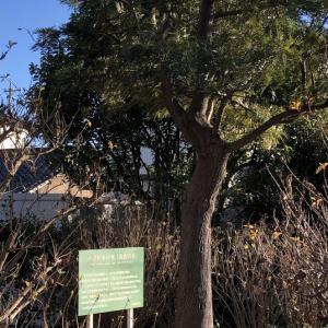 グレビアロブスター=羽衣の木