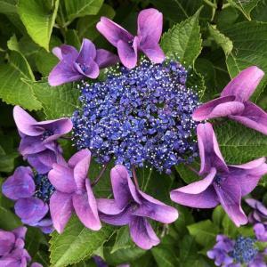 桔梗、紫陽花、アガパンサス、ユリ
