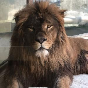 猛獣299館の住人 ライオン、アムールトラ、ジャガー