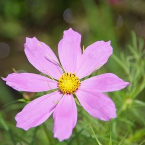 シーズン目前のコスモス あなたの知っている花の色は何種類?