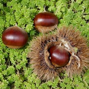 栗には大切な栄養素がたっぷり!妊婦さんにピッタリの秋の味覚!