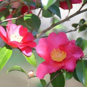 椿の花は色で意味が違う!?縁起が悪いって本当!?噂の真相はこれ!