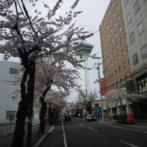 2020五稜郭公園の桜