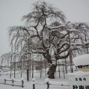 法亀寺 「冬のしだれ桜」