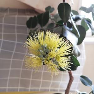 今日も開花♪オヒアレフア