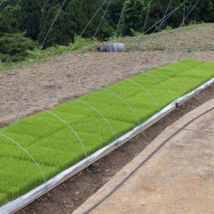 お米を作ってみよう会  草刈とその後<br />