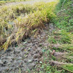 お米をつくってみょう会   稲刈り