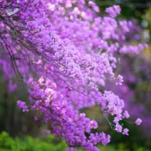 可愛いミツバツツジが咲いています・・・